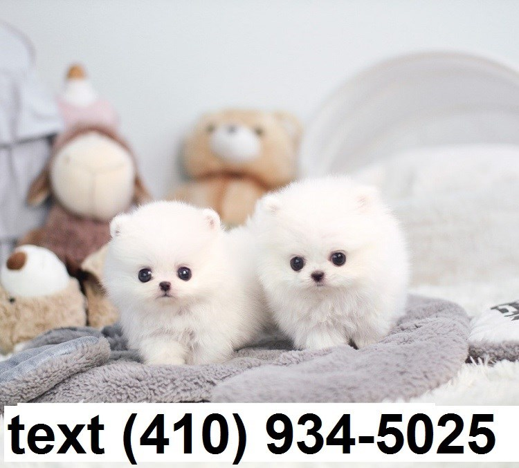 Cuttest Tiny T-cup Pomeranian Puppies For Sale